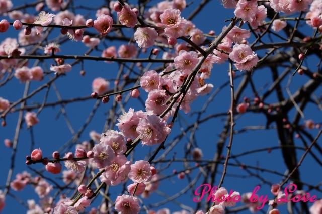 梅の花ぴんく.jpg